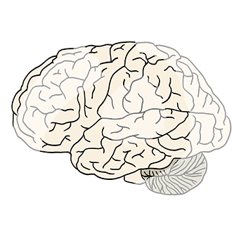 Gehirn-897.png