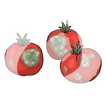 Tomaten-verschimmelt-1965.png